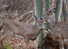 Photo of the cute young deer and his mom Stock Images