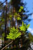 Photo dépeignant une macro vue de ressort du brunch d'arbre avec de la graisse Photo stock