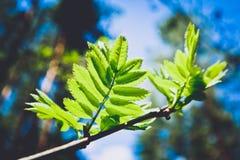 Photo dépeignant une macro vue de ressort du brunch d'arbre avec de la graisse Images libres de droits