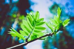 Photo dépeignant une macro vue de ressort du brunch d'arbre avec de la graisse Photo libre de droits