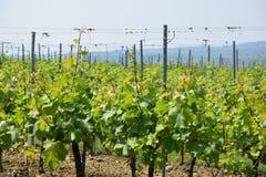 Photo d'actions de plan rapproché de champ de vigne image stock