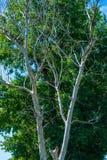 Photo d'arbre sec et vivant à l'été Images libres de droits