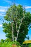 Photo d'arbre sec et vivant à l'été Photographie stock
