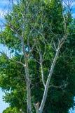 Photo d'arbre sec et vivant à l'été Photo stock