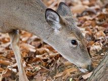 Photo d'isolement d'un cerf commun sauvage mignon mangeant des feuilles dans la forêt Photos libres de droits