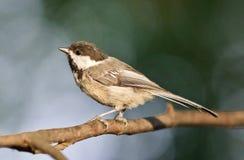 Photo d'isolement d'une séance mignonne d'oiseau de chickadee photos stock