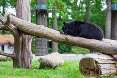 Photo d'ours dormant sur l'arbre image libre de droits