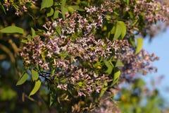 Photo d'un arbre lilas de floraison photos libres de droits
