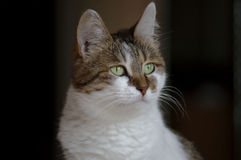 Photo d'un beau chat, photo de chat photographie stock libre de droits