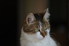 Photo d'un beau chat, photo de chat Images stock