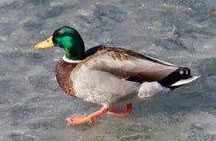 photo d'un canard marchant sur la glace Photo libre de droits