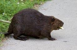 photo d'un castor canadien Photo libre de droits
