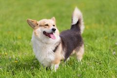 Photo d'un chien de corgi images libres de droits
