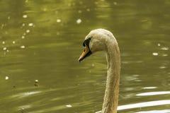 Photo d'un cygne dans le lac Photo stock