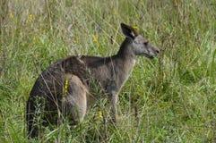 Photo d'un kangourou Photographie stock libre de droits
