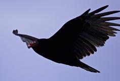 photo d'un vautour dans le ciel Images libres de droits
