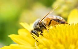 Photo d'une belle abeille et des fleurs par jour ensoleillé Photos libres de droits