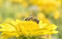 Photo d'une belle abeille et des fleurs par jour ensoleillé Photographie stock libre de droits