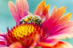 Photo d'une belle abeille et des fleurs par jour ensoleillé Image libre de droits