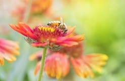 Photo d'une belle abeille et des fleurs par jour ensoleillé Image stock