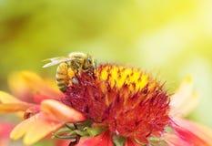 Photo d'une belle abeille et des fleurs par jour ensoleillé Photos stock