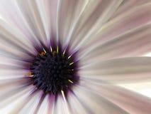 Photo d'une belle marguerite Image stock