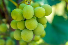 Photo d'une branche des raisins verts de vigne Images stock