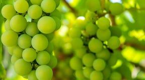 Photo d'une branche des raisins verts de vigne Photos stock