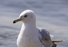 photo d'une mouette calme Photos stock