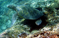 Photo d'une tortue de mer verte Photos libres de droits