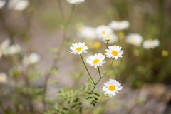 Photo of daisies in forest royalty free stock photos