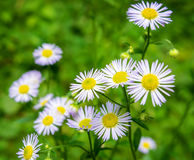 Photo of the daisies on green background. Photo of the beautiful daisies on green background Royalty Free Stock Image
