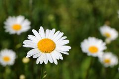 Daisy Flowers - Bellis perennis stock images