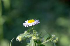 Photo of a daisy with a fly above it Stock Photos