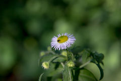 Photo of a daisy with a fly above it Royalty Free Stock Photography