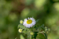 Photo of a daisy with a fly above it Royalty Free Stock Image