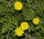 Photo of Dandelion Stock Image