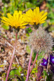 Photo of dandelion close-up with selective focus and shallow dep Stock Photos