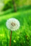 Sunshine dandelion Royalty Free Stock Images