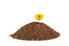 Photo of a dandelion plant growing on a hill of clay isolated on a white background. Photo of a plant growing on a hill of clay isolated on a white background stock photography