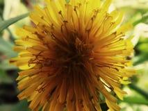 Dandelion grown in the garden. stock images