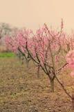Photo de beaux arbres de floraison avec le petit écoulement rose merveilleux Image libre de droits