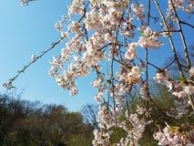 Photo de bel arbre de floraison sur le dos clair merveilleux de ciel Photo stock