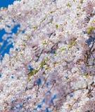 Photo de bel arbre de floraison sur le dos clair merveilleux de ciel Photographie stock libre de droits