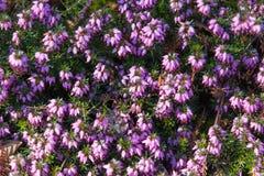 Photo de belles fleurs de floraison pourpres d'Erica Carnea avec l'OE Photographie stock libre de droits