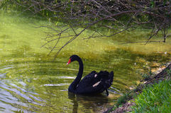 Photo de cygne noir Photographie stock
