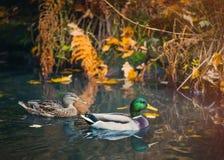Photo de deux canards sauvages Photographie stock