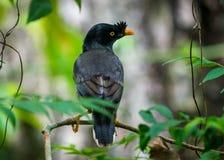 Photo de faune d'oiseau de myna de jungle photos libres de droits