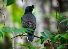 Photo de faune d'oiseau de myna de jungle image libre de droits