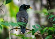 Photo de faune d'oiseau de myna de jungle images libres de droits